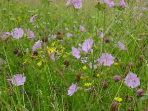 BFS1-Dry-Sandy-Soil-Wildflower-Seed-Mix