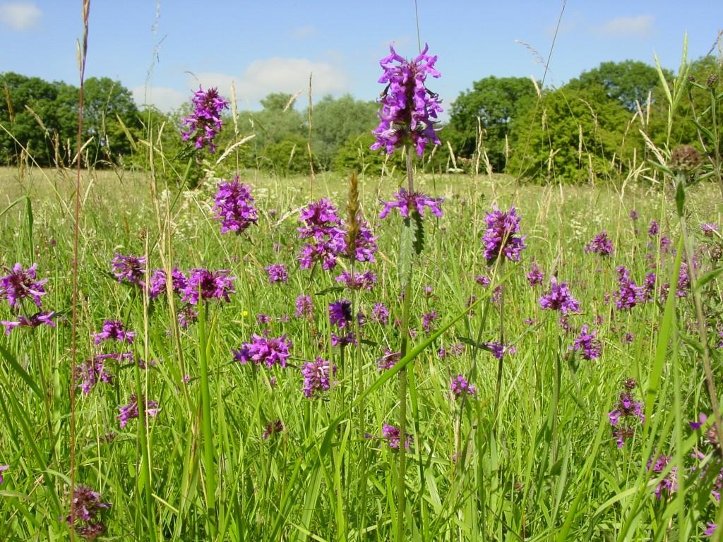 Wildflower Meadow Seeds Mix Suppliers British Flora