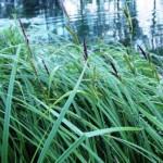 thumb=-grasses-and-sedges