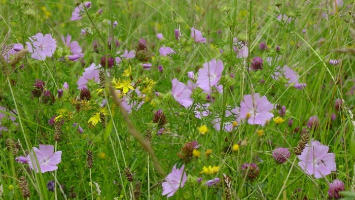 BFS1-Dry-Sandy-Soil-Wildflower-Seed-Mix