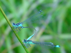 excellent mating damsels