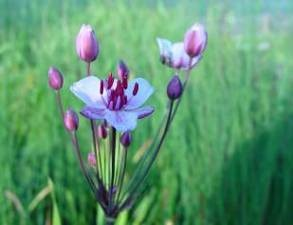 marginal plant flowering rush