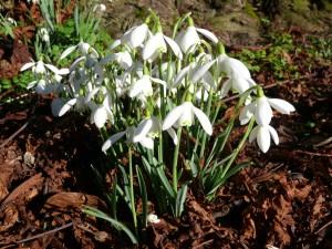 snowdrop wf plant