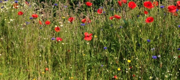 British Flora Annulas wildflower seed mix